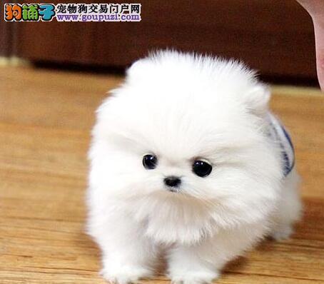 北京知名犬舍出售多只赛级博美犬可以送货上门