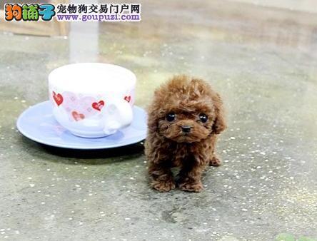 极品纯种韩系南昌泰迪犬直销 身体健康有保证国外引进