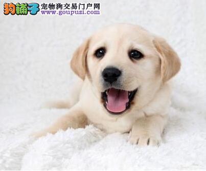 健康优秀南昌拉布拉多犬直销出售 驱虫疫苗已做齐