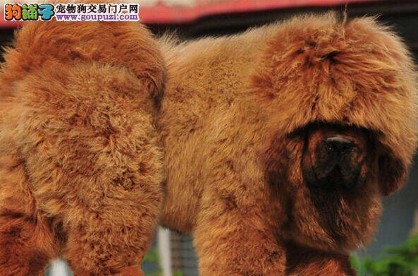 沈阳知名獒园低级优惠出售藏獒幼崽 可赠送宠物狗用品