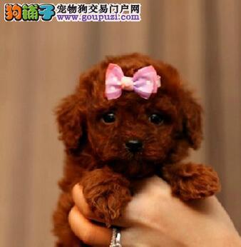 优惠促销精品泰迪犬西安地区购犬可送用品