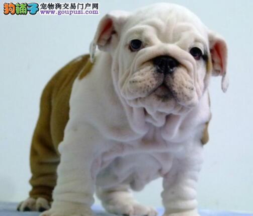 渝中大型狗场繁殖出售高气质斗牛幼犬 名犬血系的后代
