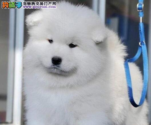 赛级萨摩耶幼犬、假一赔十价位最低、三年质保协议