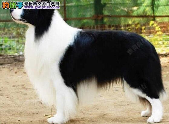 高智商品相佳的武汉边境牧羊犬特价优惠出售 非诚勿扰