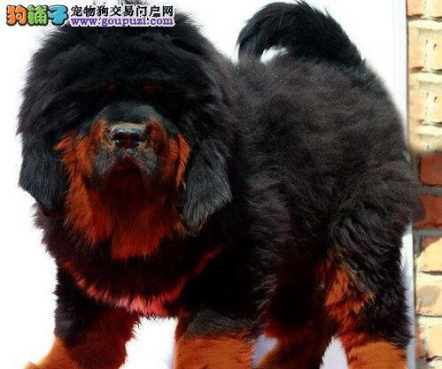 苏州热销 忠于主人记忆力强勇猛善斗的藏獒幼犬