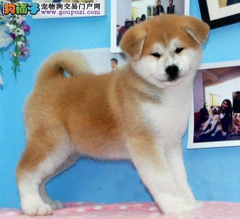 犬舍直销高品质日系秋田犬南京市区可上门选购