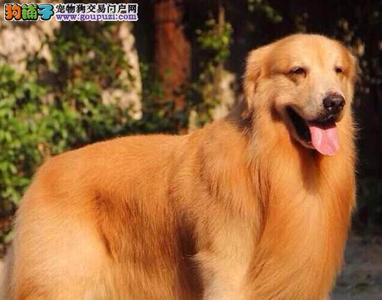 出售金灿灿的昆明金毛犬找爸爸妈妈 喜欢的朋友别错过