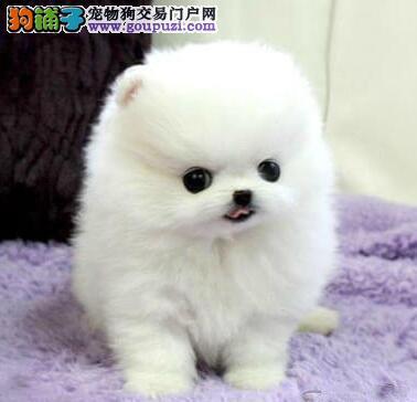 高端博美犬幼犬 品质第一价位最低 提供养狗指导