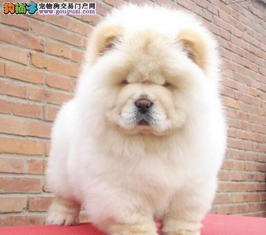 多款颜色松狮犬潍坊待售 质量品质保证第一 完美售后