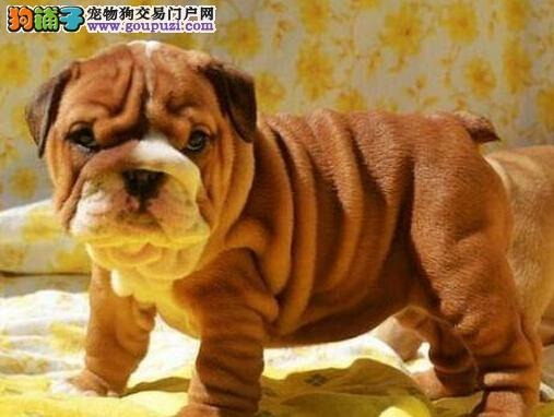 重庆斗牛犬专卖 精品斗牛犬重庆狗狗买卖自家养殖出售