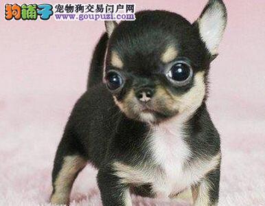 知名犬舍出售多只赛级吉娃娃喜欢微信咨询