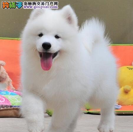 出售纯种极品漂亮微笑天使渝中萨摩耶 可免费送狗上门