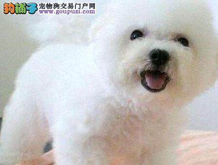 纯白色没有泪痕可爱的比熊宝宝潍坊开卖啦 非常干净哦