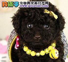 让你爱不释手的贵宾犬潍坊热卖 因为天然 所以健康
