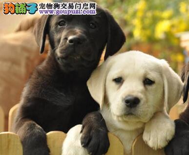 直销顶级优秀南宁拉布拉多犬 支持全国发货假一罚百