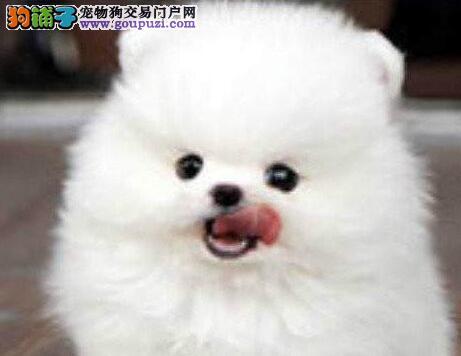 南宁自家狗场出售纯种哈多利版博美犬 颜色多样品相好