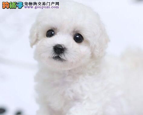 大眼睛甜美脸型的比熊幼犬找新家 沈阳的朋友上门选择