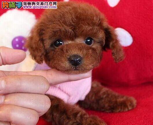 聪明可爱颜色齐全的沈阳泰迪犬 可办理证书和芯片