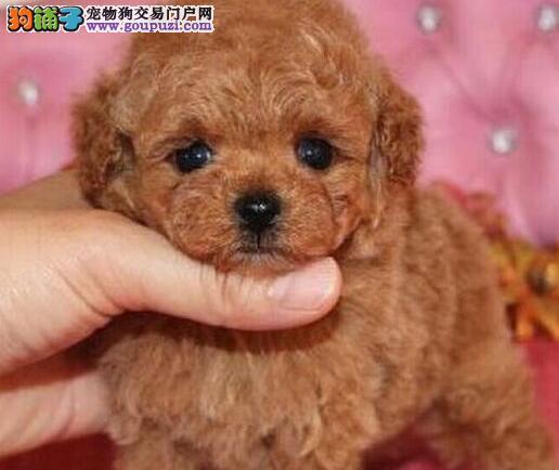 纯种韩系泰迪犬特价转让 品质优秀上海最低价保证健康