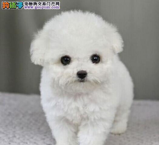 极品优秀韩系血统泰迪犬直销 兰州狗场直销品质优秀