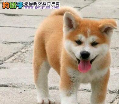 深圳秋田哪里有卖秋田犬买纯种秋田找哪的狗场好