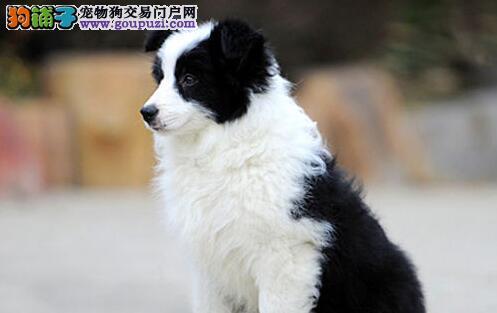 广东精品高品质边境牧羊犬幼犬热卖中当日付款包邮