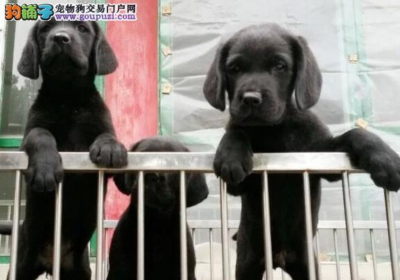 沈阳正规养殖场拉布拉多幼犬 终身质保免费送货上门