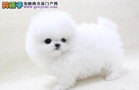 沈阳犬舍直销纯种健康哈多利版博美幼犬 健康有保障