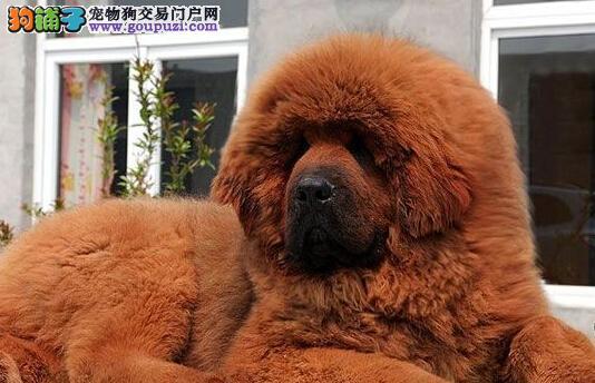 出售郑州藏獒专业缔造完美品质微信看狗可见父母