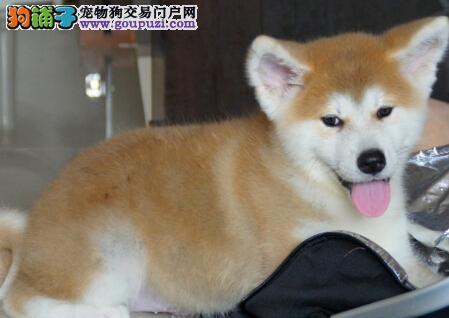 自家繁殖的南宁秋田犬特价优惠出售 狗贩子请绕行
