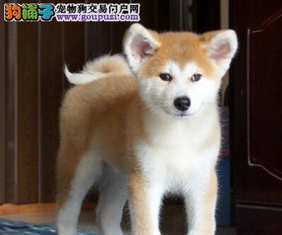 纯种日系秋田犬待售 成都犬舍可接受预定欢迎购买