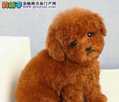 哈尔滨出售泰迪犬公母都有品质一流品质保障可全国送货