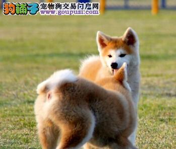 贵阳犬业自繁自销纯正血系的秋田犬 我们承诺售后