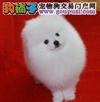 出售纯种哈多利版球型小型博美幼犬