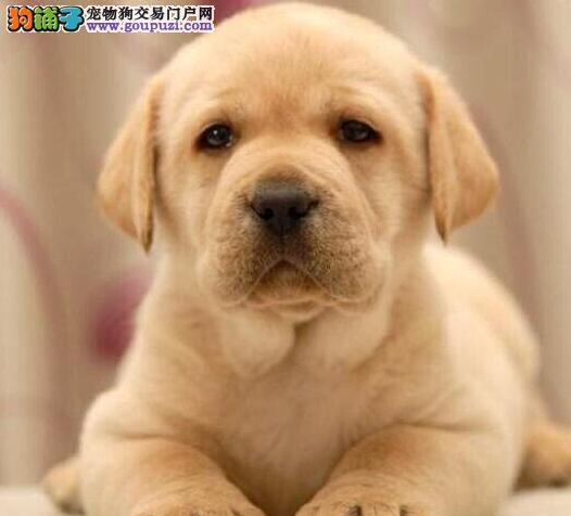 成都纯种拉布拉多犬出售 黑色的米白色米黄色拉拉赛级