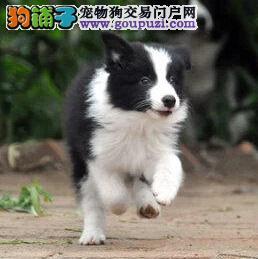 专业直销精品纯种边境幼犬—特价出售—可上门挑选