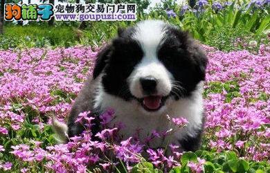 品相极佳边牧宝宝广州正在热销 包纯种健康 别错过哦