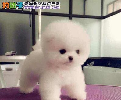 湘潭自家繁殖博美犬出售公母都有欢迎上门选购价格公道