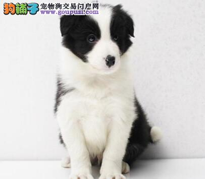 杭州哪里有卖边镜牧羊幼犬 纯种边镜牧羊犬价格