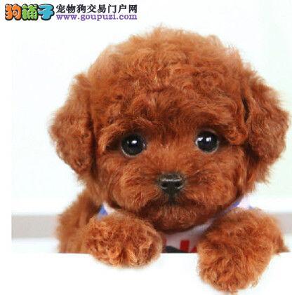 纯种精品超萌娃娃脸 微小茶杯型泰迪熊 西安多只出售
