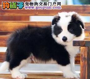 世界第一聪明边境牧羊犬出售中,黑白色,陨石色