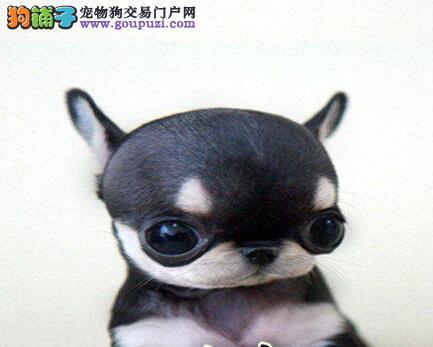 高端吉娃娃幼犬、金牌店铺价位最低、质保全国送货