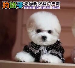 深圳专业养殖基地出售精品卷毛比熊犬 驱虫疫苗按时做