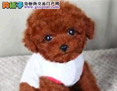 泰迪犬宝宝热销中 可办理血统证书 寻找它的主人