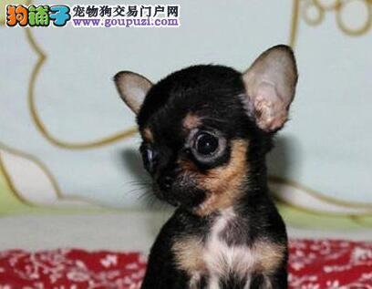 超小体大眼睛广州吉娃娃幼犬出售 建议大家上门看种犬