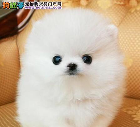 可爱哈多利版东营博美犬特价出售 公母都有多只可选