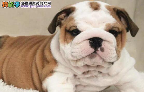 湖州市专业繁殖纯种英国斗牛犬 健康活泼 疫苗齐全!!!