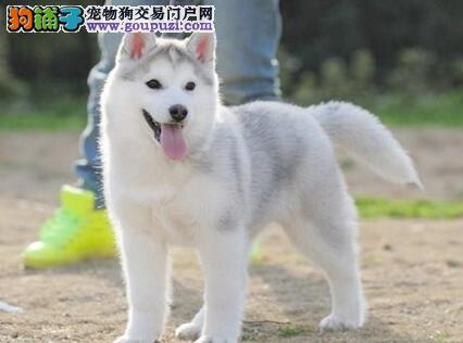 东莞正规犬舍低价出售双血统哈士奇幼犬 保证血统品质