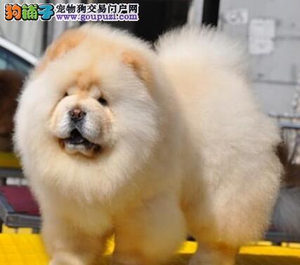 绍兴正规狗场直销肉嘴紫舌头的松狮犬 可送货上门挑选