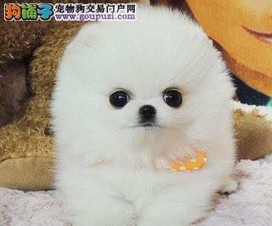 天津最大犬舍出售多种颜色博美犬微信选狗直接视频